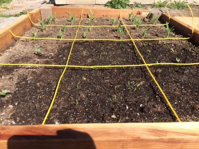 Cauliflower, carrots, beets, and corn seedlings