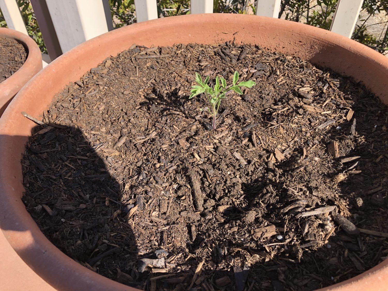 tomatoe seedling