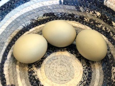 Read more about the article And Our First Egg-laying Hen is…