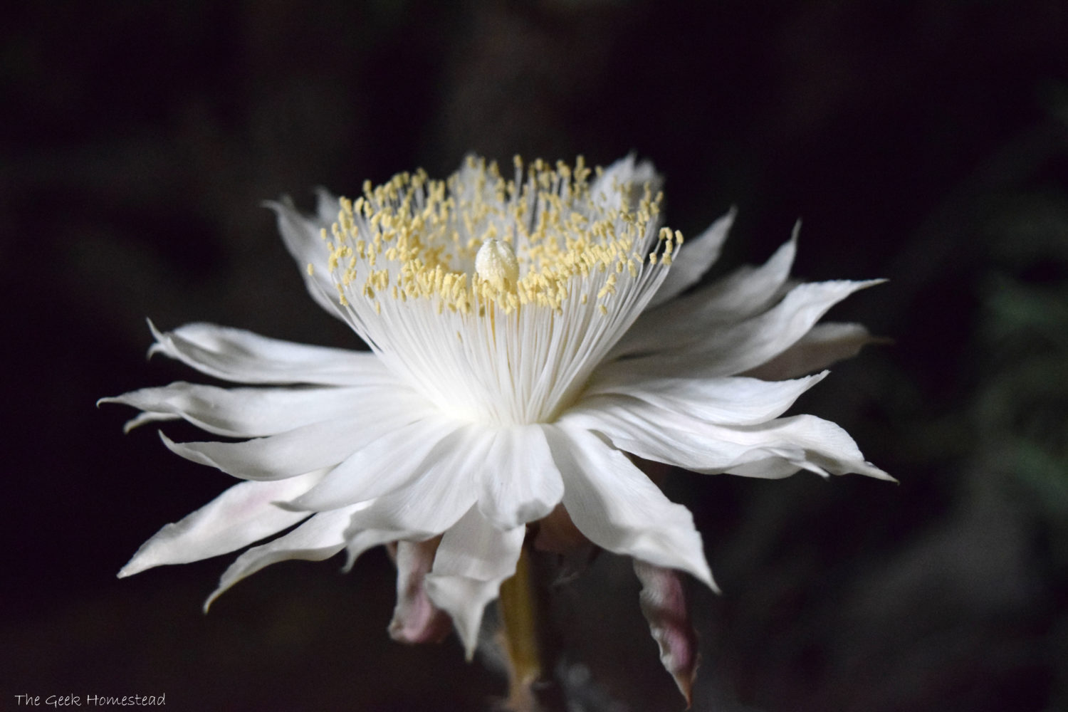 Night-Blooming Cereus: First Bloom