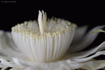 Night-Blooming Cereus: Third Bloom