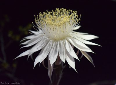 Night blooming Cereus: Second Bloom