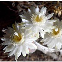 Night-blooming Cereus: 2021 Bloom Night #2