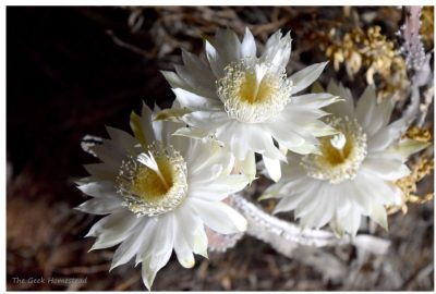 Read more about the article Night-blooming Cereus: 2021 Bloom Night #2