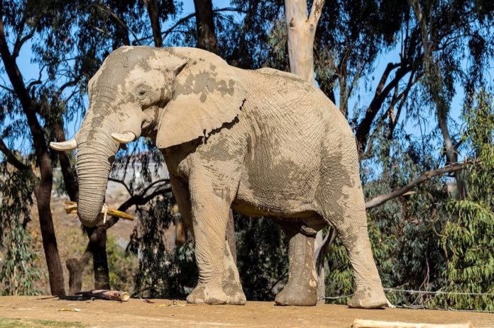 Zoo Atlanta is welcoming an African elephant from the San Diego Zoo