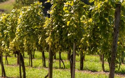 5 vini bianchi piemontesi: quale tra questi preferite?