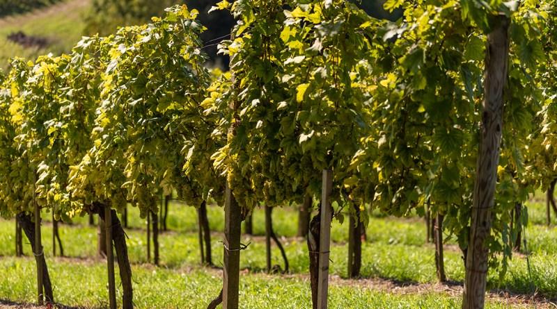 5 vini bianchi piemotnesi | The Giornale