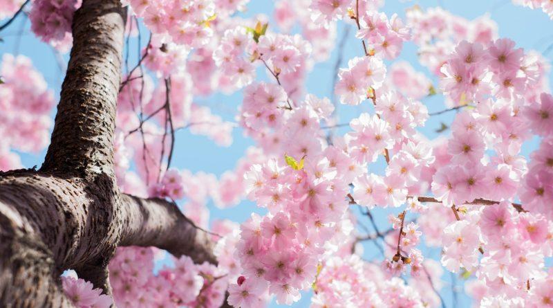 Dove vedere le fioriture più belle nel mondo - TheGiornale