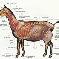 Horse Neck Diagram 98 Jeep Grand Cherokee Radio Wiring Goat Anatomy The Chick