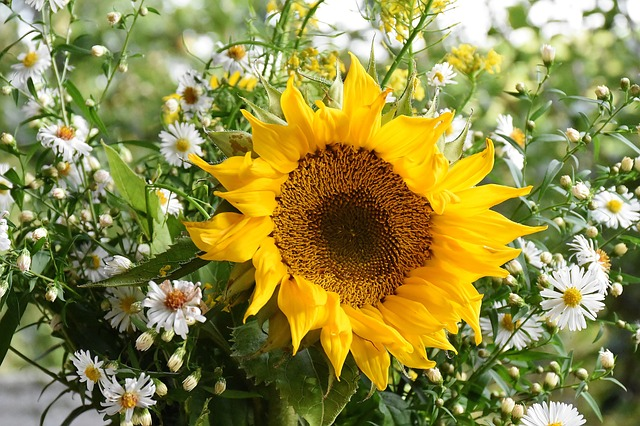 sunflower sun flower yellow petal petals flower garden bloom blossom bloom green money stalk leaves garden growth seasonal summer horticulture flora plant close garden design gartendeko money leaves garden garden garden design garden design garden design garden design garden design