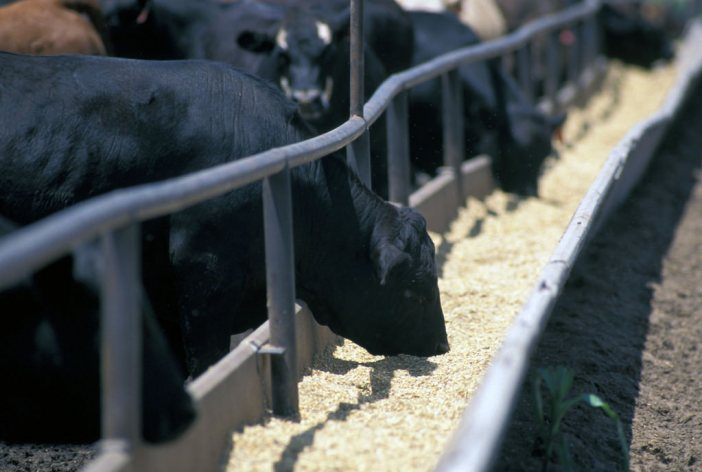 Contaminated Animal Feed Lots