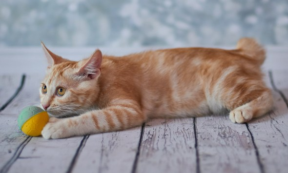 American Bobtail Orange Tabby
