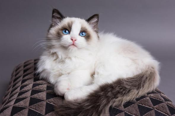 Ragdoll Cat, 10 Most Expensive Cat Breeds in the World