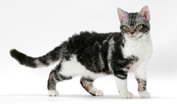 American-Wirehair cat