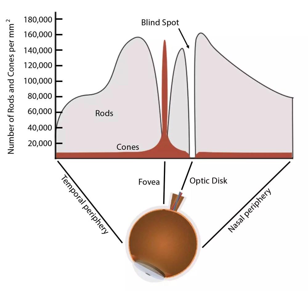 medium resolution of rods and cones diagram
