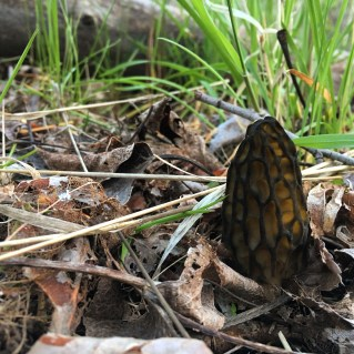 Washington Black Morel