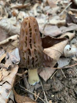 Kentucky morel