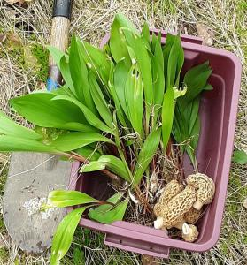 Morels and Ramps (Photo courtesy of James B Augusta WV)