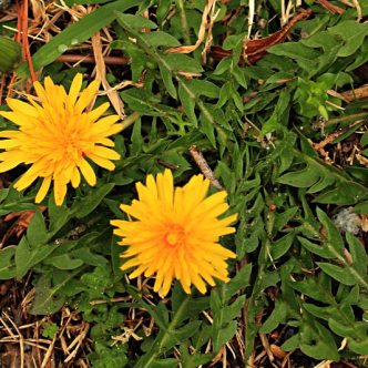 foraging wild edibles - Dandelion - image courtesy of Wild Edible