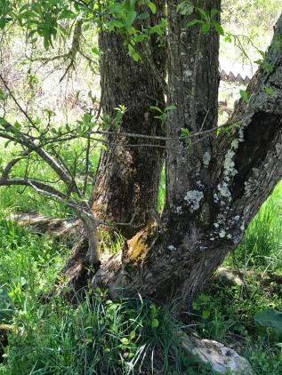 old apple tree with morels
