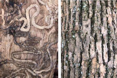 Ash Tree Bark and bore marks