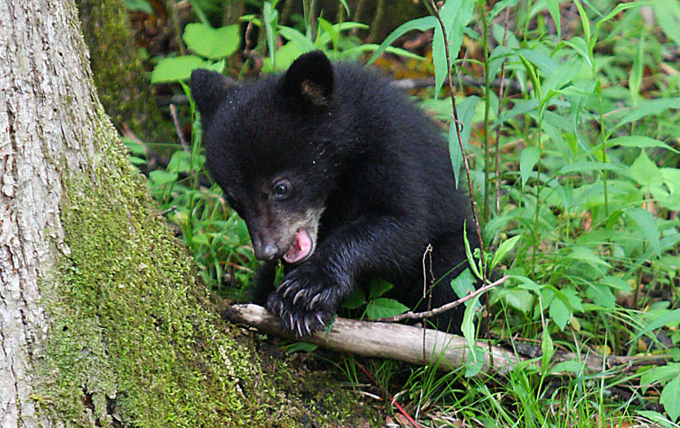 Fall In The Smokies Wallpaper Black Bear Breaks Into Gatlinburg Candy Store Great
