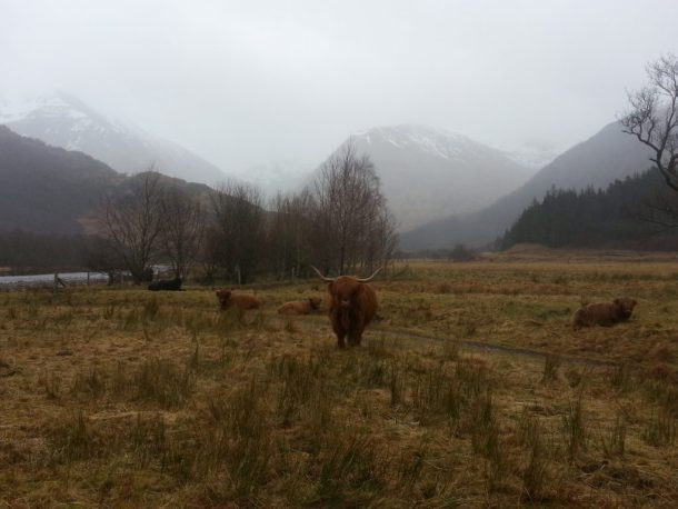 Highland cows with mountains lost in clouds of rain