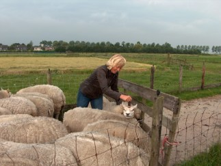 schapen scheren 005