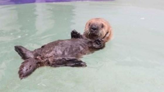 lontra-marinha-orfa-resgatada-EUA-veja-fotos-4