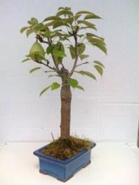 Miniature Pear Bonsai Tree - The Green Head