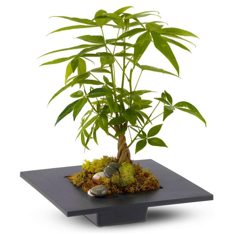 money tree may bring