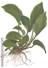 Anubias barteri var.caladiifolia '1705', Tropica tropical aquarium plant