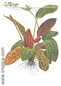 Echinodorus 'Ozelot' XL - buy tropical aquarium plants online