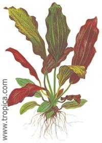 Echinodorus x barthii XL