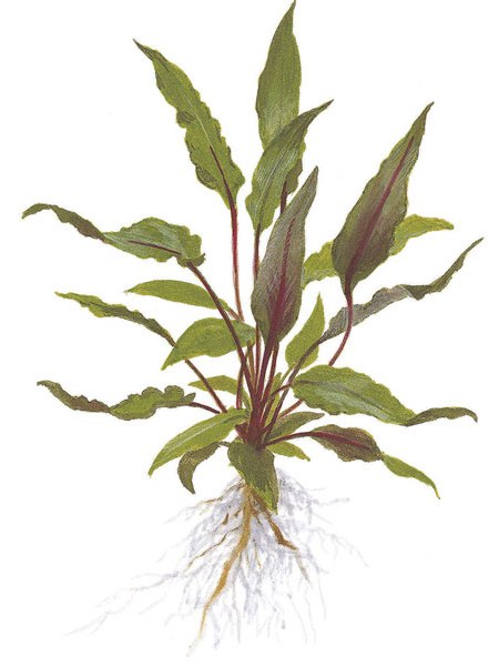 Image of Cryptocoryne beckettii 'petchii' buy tropical aqurium plants online