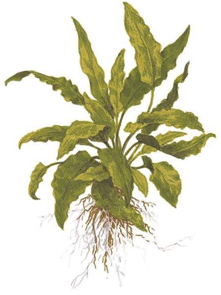 Image of Cryptocoryne wendtii 'green' buy tropical a