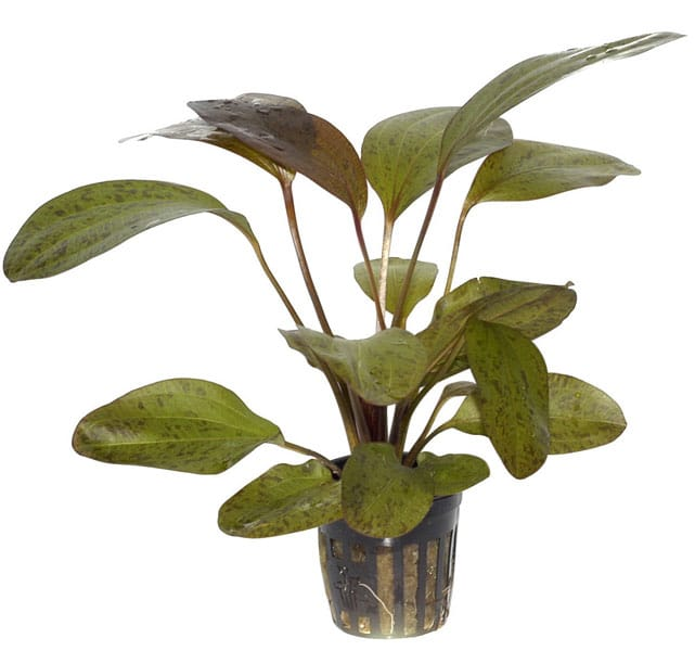 Image of Echinodorus 'Ozelot' buy tropical aquarium plants online