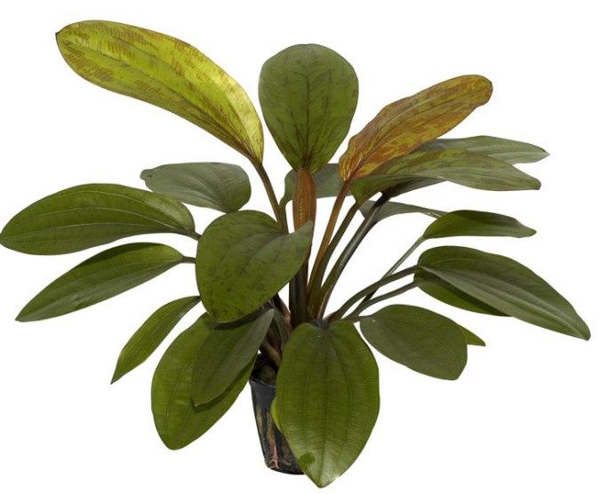 Image of Echinodorus 'Rose' buy tropical aquatic aquarium plants online