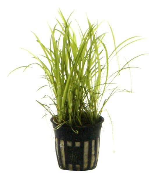 Image of Echinodorus tenellus buy tropical aquarium plants online