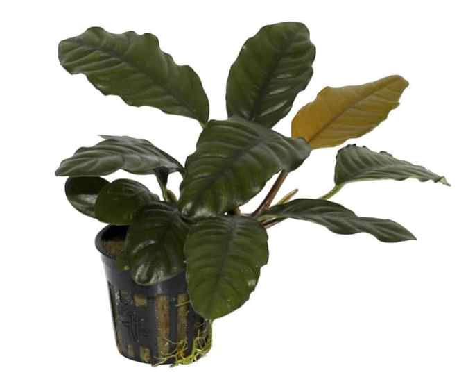 Anubias barteri 'coffeefolia' tropic aquarium plant by The Green Machine