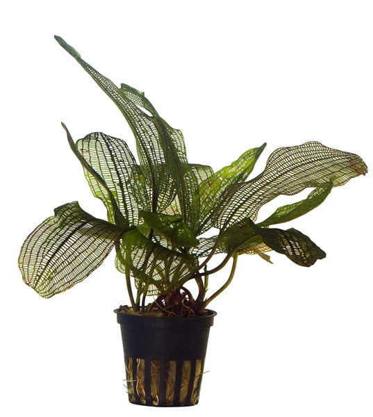Aponogeton madagascariensis, buy Tropica aquarium plants at The Green Machine