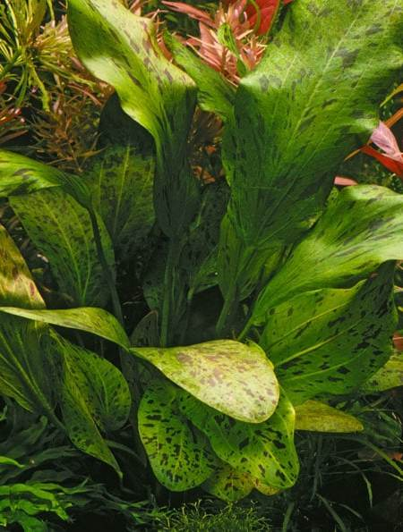 Image of Echinodorus 'Ozelot' (Green) buy tropical aquarium plants online