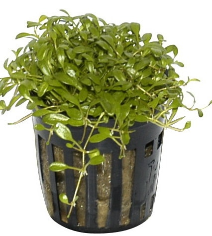 Glossostigma elatinoides buy tropical nature aquarium plants online