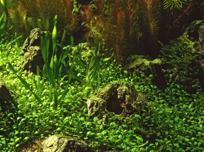 Glossostigma elatinoides buy tropical nature aquarium plants online