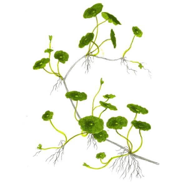 Hydrocotyle verticillata - buy Nature Aquarium Plants