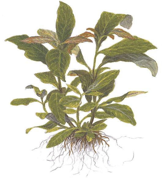 Aquatic Plant Image