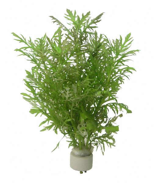 Hygrophila difformis - buy Nature Aquarium Plants