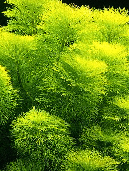 Image of Limnophila aquatica - buy Nature Aquarium Plants online
