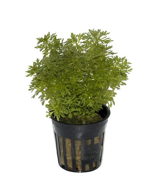 Image of Limnophila sessiliflora - buy Nature Aquarium Plants online