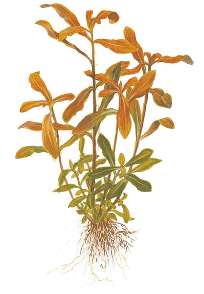 Image of Nesaea crassicaulis nature aquarium plant